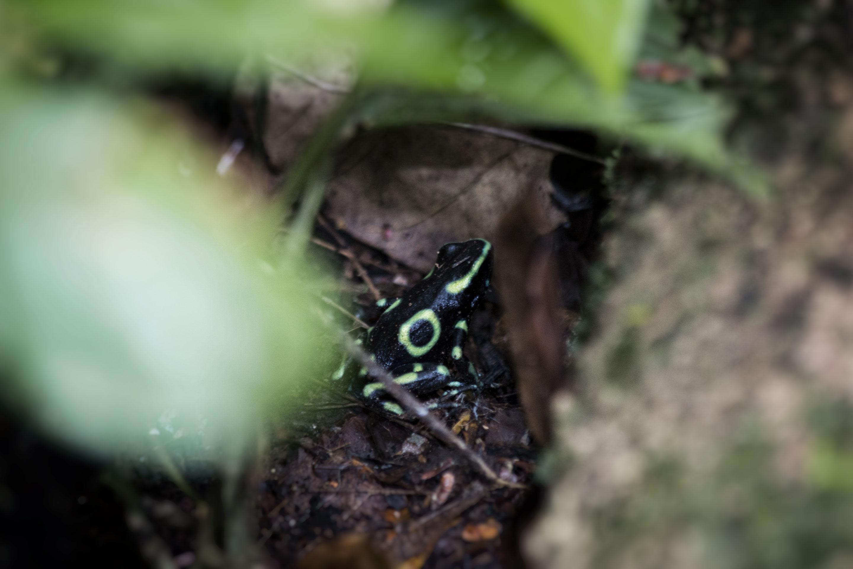 Costa Rica - Carara - Grenouille
