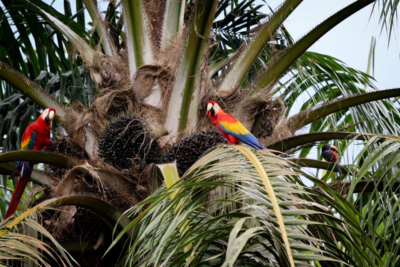Costa Rica - Couple de Aras rouges et aracari