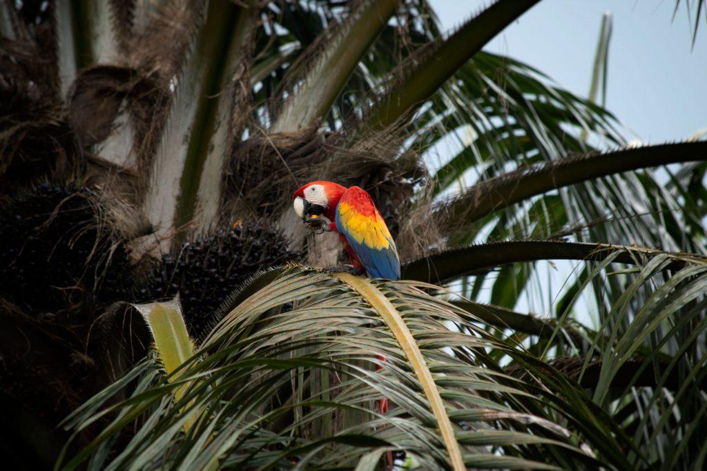Un aras rouge en train de manger des graines vers le Corcovado