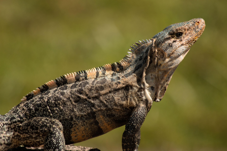Costa Rica - Iguane dans le parc du Corcovado