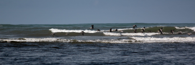 Costa Rica - chasse de pélicans le long des côtes du Corcovado