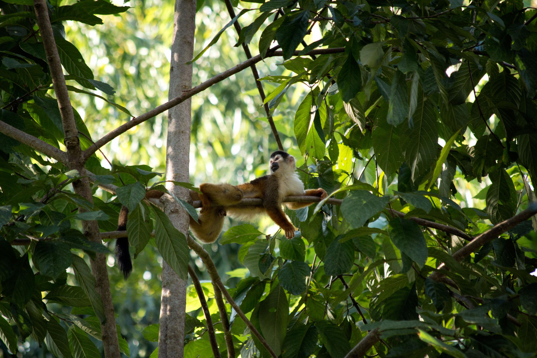 Costa Rica - Singe écureuil au Corcovado
