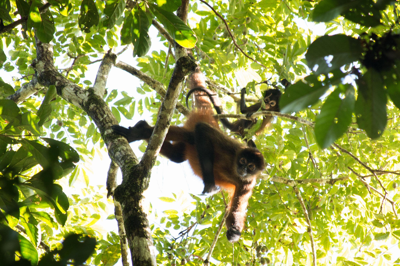 Costa Rica - Mère et bébé singe araignée