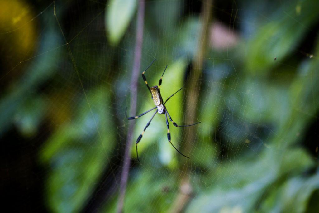 Une araignée Nephila dans le parc de Manuel Antonio