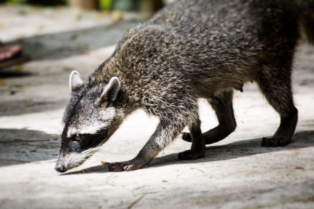 Un raton laveur voleur à Manuel Antonio