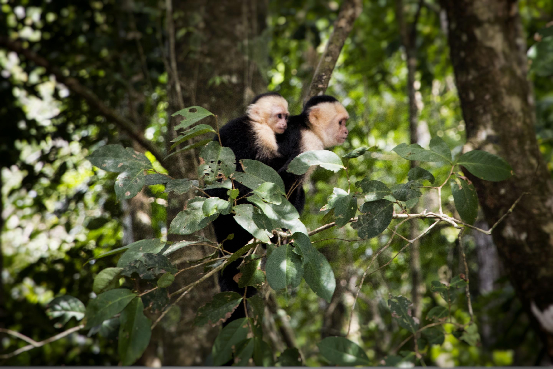 Costa Rica - Manuel Antonio - Singes capucins