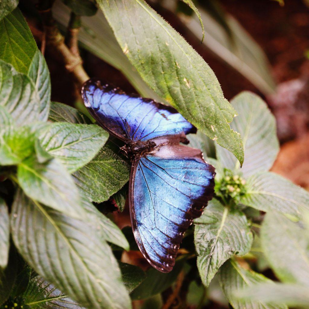 Un Morpho bleu