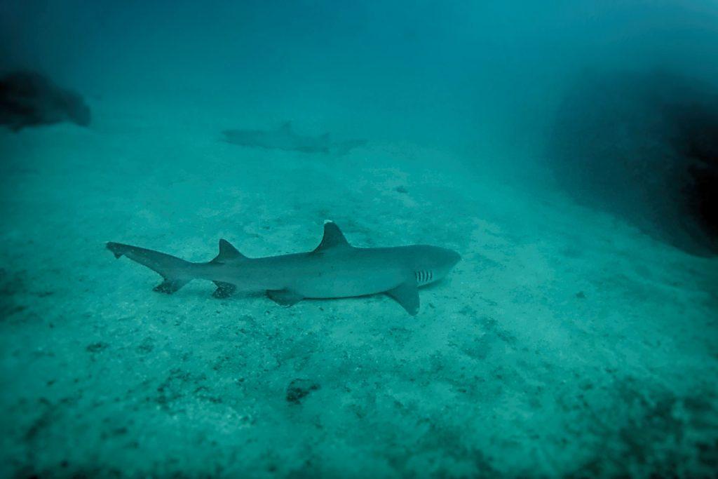 Un requin point blanche lors de notre plongée à Isla del caño