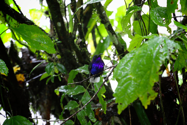 Costa Rica - Colibri bleu