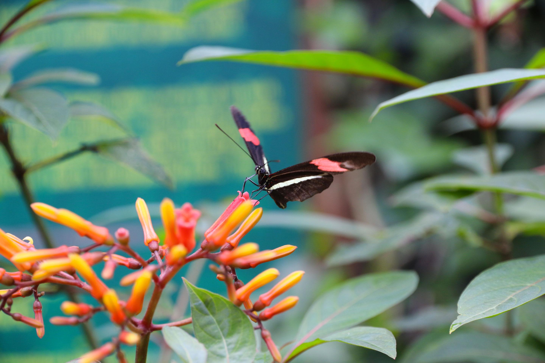 Costa Rica - Heliconius erato
