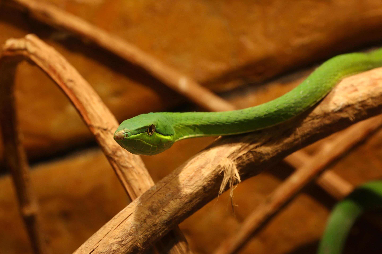 Costa Rica - Serpent vert