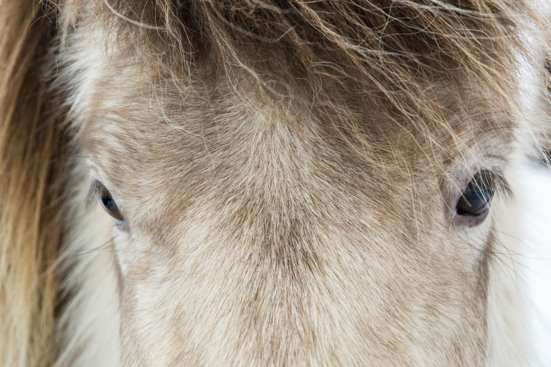 Islande - Cheval beige