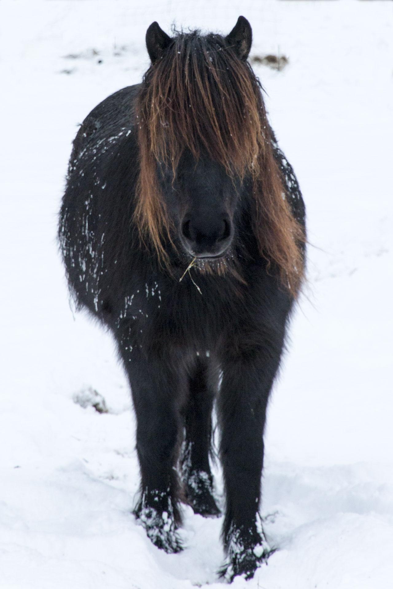 Islande - Cheval noir