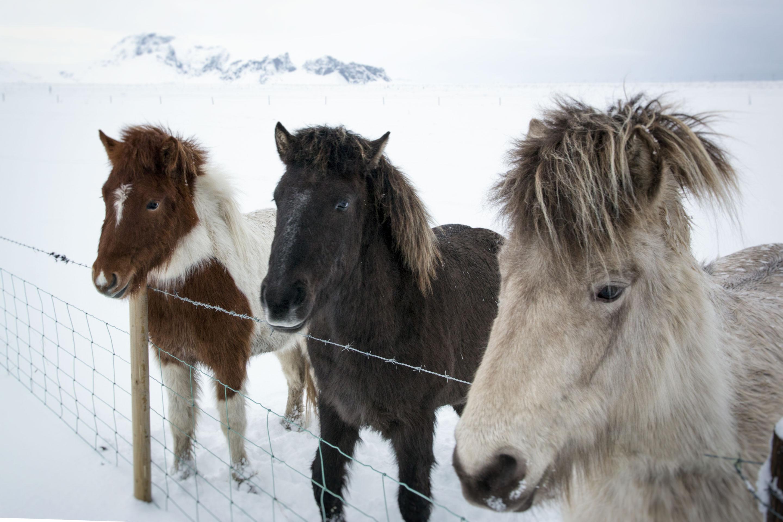 Islande - Chevaux